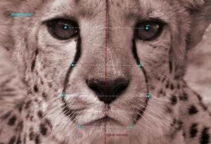 Rostro de un guepardo